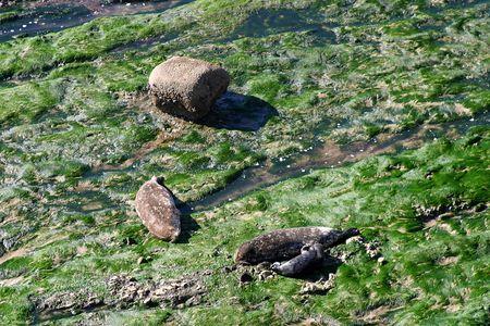 blubber: Seals at the Carpinteria Harbor Seal Rookery Stock Photo