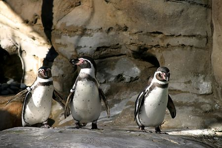The Humboldt Penguins is a South American penguin, breeding in coastal Peru and Chile. Stock Photo