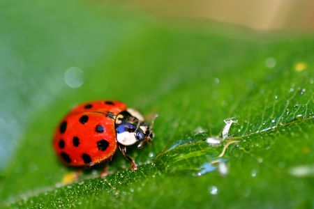 Coccinellids or ladybugs are small insects and are found worldwide with over 5000 species. Stock Photo