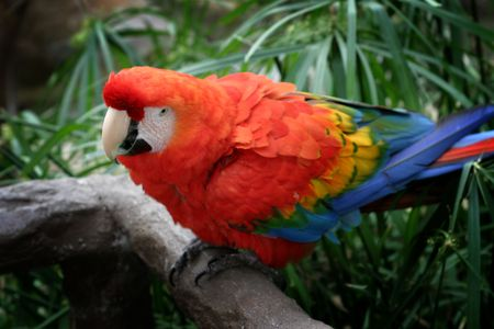 The Scarlet Macaw is a large colorful parrot.