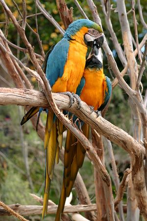 which: The Blue-and-yellow Macaw (Ara ararauna), also known as the Blue-and-gold Macaw, is a member of the macaw group of parrots which breeds in the swampy forests of tropical South America from Panama south to Brazil, Bolivia, Paraguay and Trinidad. It is an e
