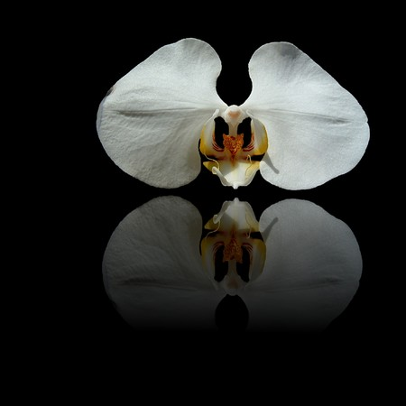 yellow orchid: White orchid with yellow center and reflection on black background. Stock Photo