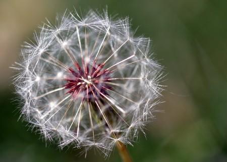 Dandelion full seed head with blurred natural background. Reklamní fotografie