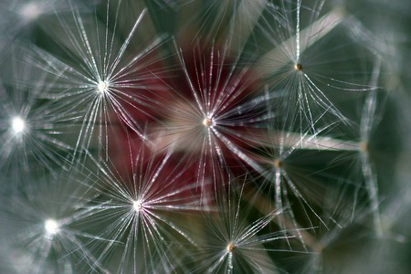 Dandelion full seed head with blurred natural background. Фото со стока