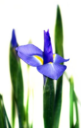Blue and green Iris isolated on white background. photo