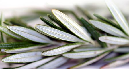 flavorful: Fresh green herb rosemary on white background.