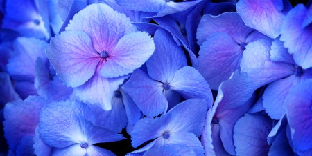 hydrangea macrophylla: close up of a group blue and pink hydrangea