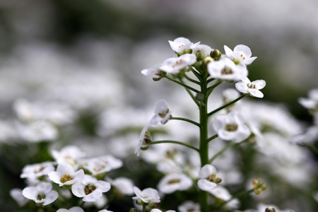 large group of small clear crystal white alyssum close up Stock Photo - 7827267