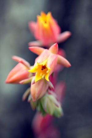 red yellow orange flower of a everia runyoni habitus inflorescences photo