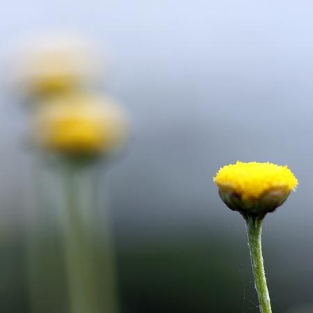 緑の背景をぼかしとカモミールの小さな花