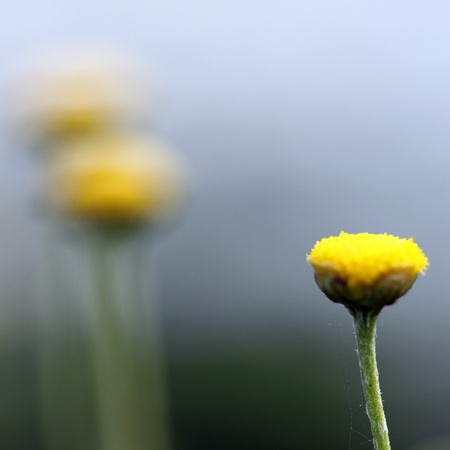 small flower of chamomile with green blurred background