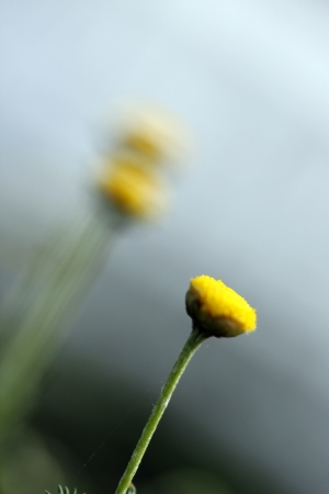 chamomile flower: small flower of chamomile with green blurred background