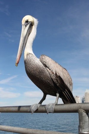 Grey pacific pelican with blue sky and water in the background