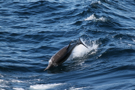 This ordinary dolphin jumping through the water near Ventura.