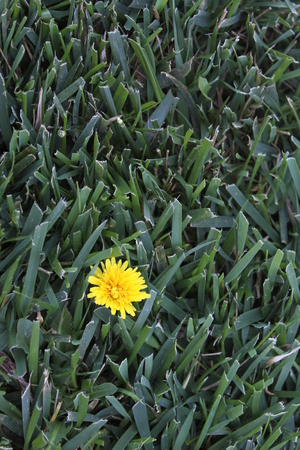 blanked: One yellow dandelion in a blanked of green grass.