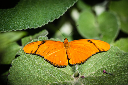 conservatory: A colorful Julia Heliconian Dryas Julia butterfly.