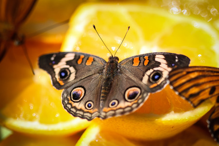buckeye flower: A colorful Common Buckeye Junonia Coenia butterfly sitting on orange slices. Stock Photo