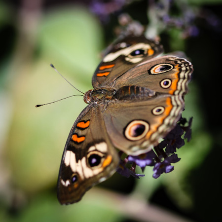 A colorful Common Buckeye Junonia Coenia butterfly. photo