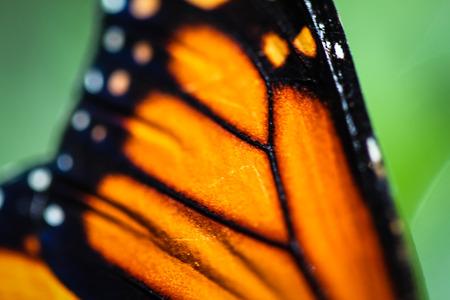 danaus: A colorful Monarch Danaus Plexippus butterfly. Stock Photo