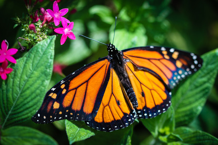 plexippus: A colorful Monarch Danaus Plexippus butterfly. Stock Photo