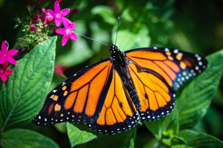 Een kleurrijke Monarch danausplexippus vlinder.