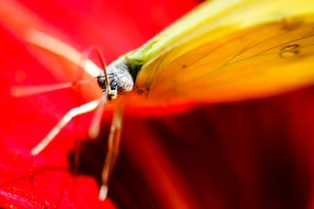 eyespot: A colorful Cloudless Sulphur Phoebis Sennae butterfly sitting on a red Lily. Stock Photo