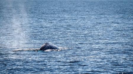 Gray whale swimming in the ocean near Ventura California.