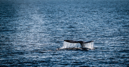 Gray whale watching in the Channel Islands near Ventura.
