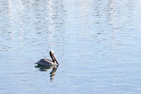 pelecanidae: Beautiful swimming pelican in ocean water with reflections.