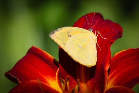 is cloudless: A colorful Cloudless Sulphur (Phoebis Sennae) butterfly sitting on a red Lily.