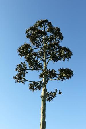 agave: Disparar Seedpod de un cactus agave suculenta.