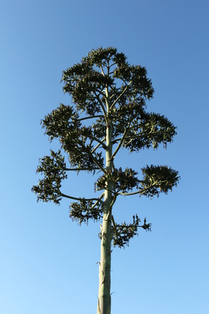 seedpod: Seedpod shoot from a agave cactus succulent. Stock Photo