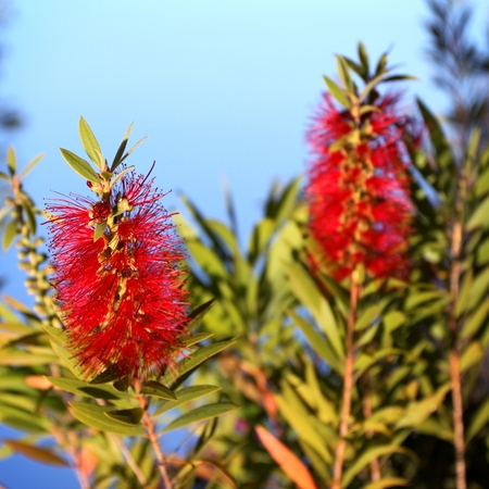 callistemon: Red Bottlebrush Callistemon with a blue sky in the background. Stock Photo