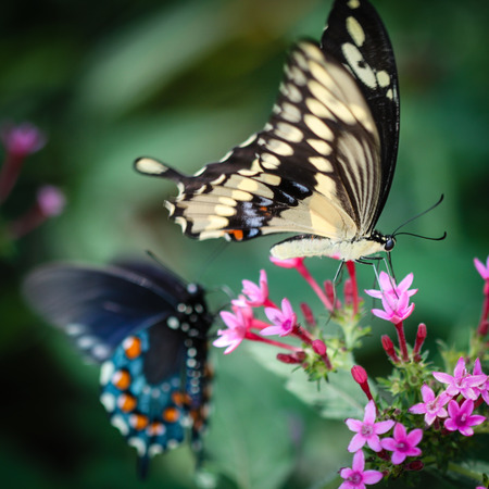 swallowtail: A colorful Giant Swallowtail Papilio Cresphontes butterfly.