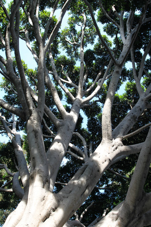 Old Fig Tree in Santa Barbara near the train station.