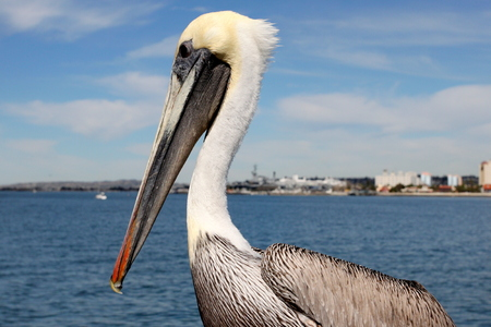 Grey pacific pelican with blue sky and the skyline of San Diego in the background.