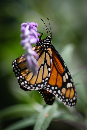 A colorful Monarch Danaus Plexippus butterfly. Stock Photo