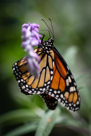 A colorful Monarch Danaus Plexippus butterfly. Stock Photo
