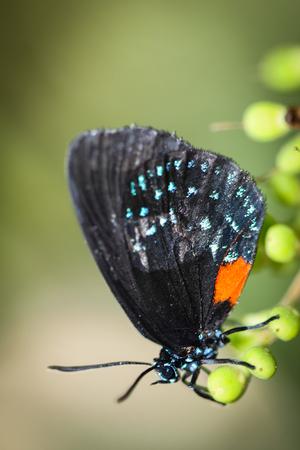 glitzy: A colorful Eumaeus Atala butterfly sitting on green leaves. Stock Photo