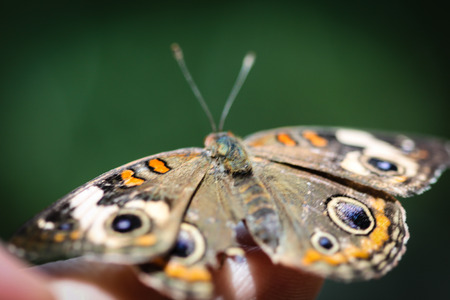 buckeye: A colorful Common Buckeye Junonia Coenia butterfly.