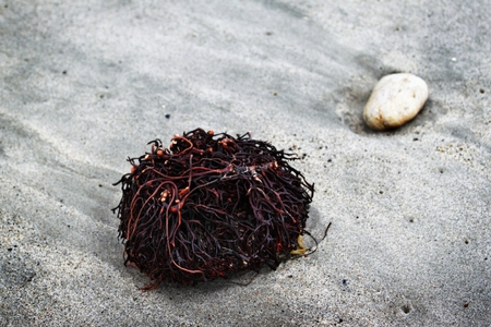 Seaweed Roots lying in the sand next to a stone. Stock Photo