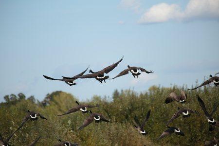 escape: Wild Canada geese escape the area when a man approaches.