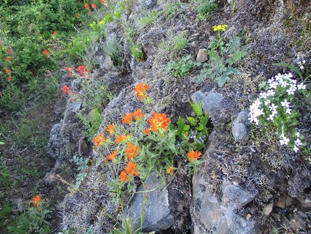 Indian Paintbrush (Castilleja miniata)  with some Wild Blue Flax (Prarie Flax) and some Scabland Fleabane near the summit of Kings Mountain, Oregon Coast Range. Shows the tenacity of life as they grow amid the rocks.near the summit of Kings Mountain, Or