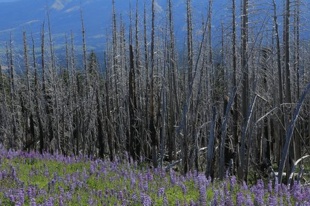 Wildfire results, dead treea stand after a forest fire near Cloud Cap on Oregons Mount Hood. Lupine in the foreground shows the resilience of life.