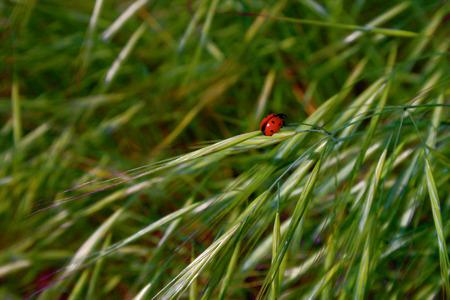 Ladybug in Green Grass photo