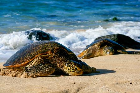 land turtle: Green Sea Turtles on Beach