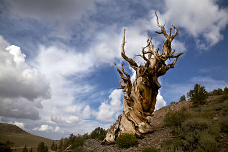 Ancient Bristlecone Pine, Inyo National Forest, California  photo