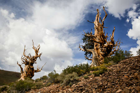 inyo national forest: Ancient Bristlecone Pines, Inyo National Forest, California  Stock Photo