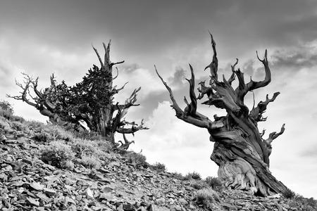 bristlecone: Ancient Bristlecone Pine Trees