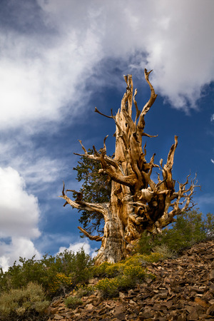 inyo national forest: Ancient Bristlecone Pine, Inyo National Forest, California